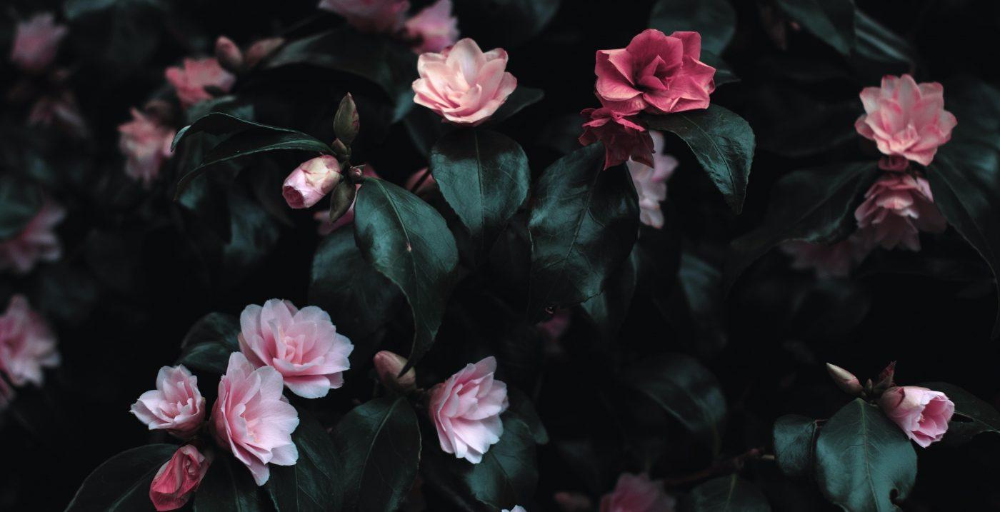 Blühender Rosenbusch